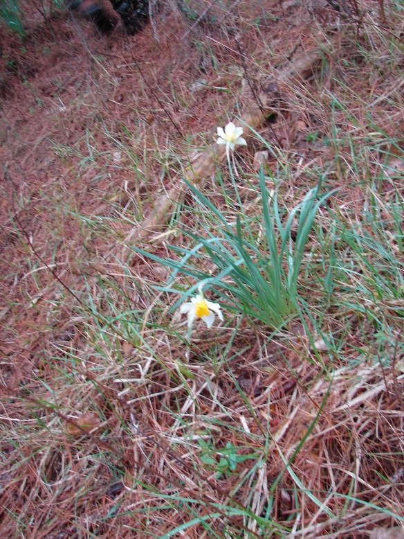second younger cem daffodil