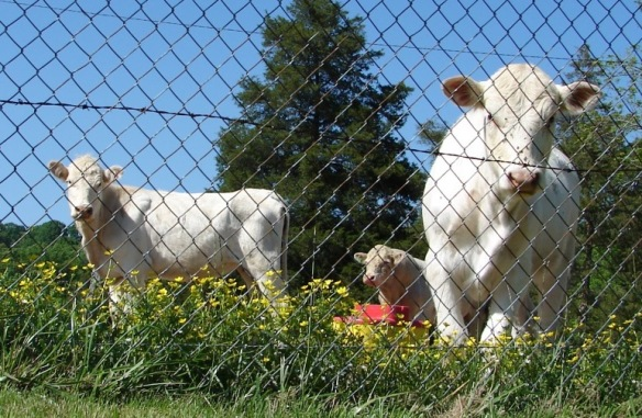 clarkson cemetery cows