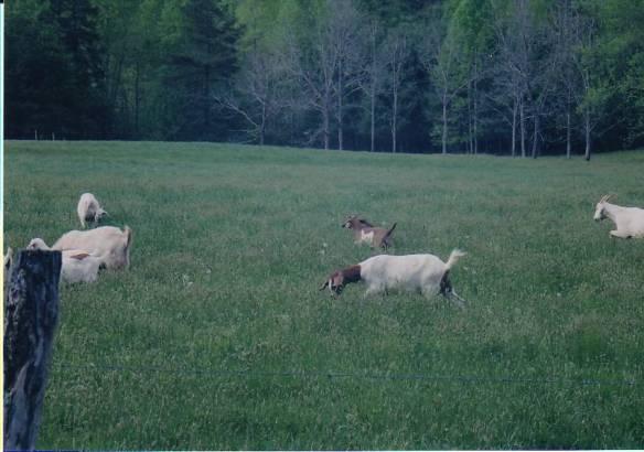 Harrold goats2